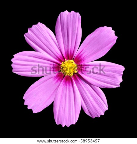 Pink Cosmea Rose. Beautiful Cosmos Flower isolated on black background - stock photo
