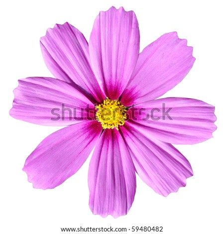 Pink Cosmea Rose. Beautiful Cosmos Flower isolated on white background - stock photo