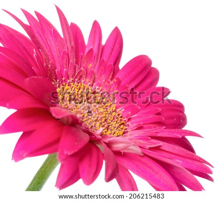 pink flower gerbera of stalk is isolated on white background, closeup  - stock photo