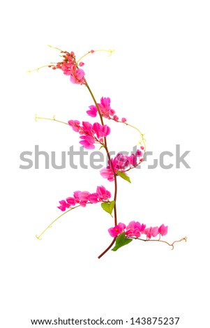 Pink flower on a white background.(Coral Vine, Mexican Creeper, Chain of Love) - stock photo