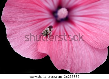 Pink Flower with  a little fly on it. - stock photo