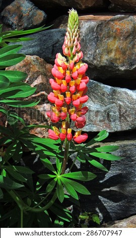 pink lupine in colorado - stock photo