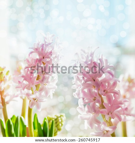 Pink pale hyacinths on blue bokeh background, selective focus - stock photo