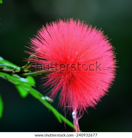 Pink Powder Puff, also known as Calliandra haematocephala - stock photo