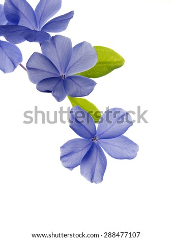 Plant lead wort. Its gentian-blue late-season flowers often continue to bloom even as the foliage turns brilliant red-orange in fall, making an outstanding autumn display. - stock photo