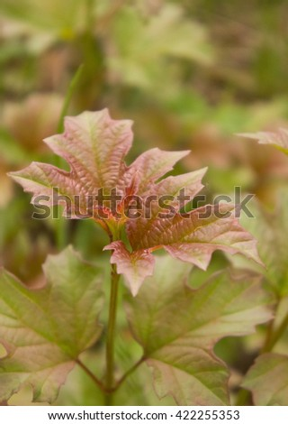 plant with interesting leaves similar on maple in the wood, a close up - stock photo