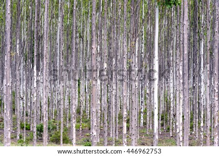 Plantation of young gum trees Kwazulu natal, south africa.  - stock photo