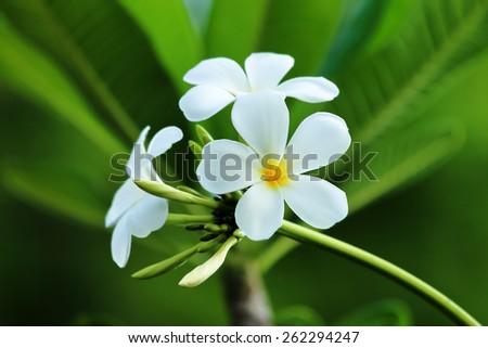 Plumeria flower on tree. - stock photo