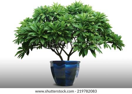 2Plumeria tree (frangipani),Orname ntal plants of Thailand,Tree in Thailand ,isolated on white background - stock photo