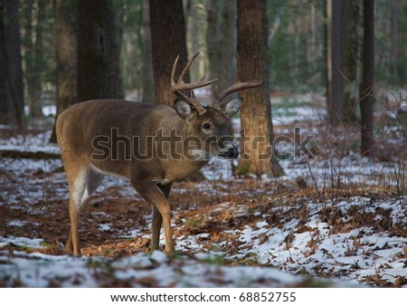 10 point Whitetail Buck Deer walking in Cades Cove campground on patchy winter snow, Great Smoky Mountains National Park, Tennessee; white tail / white-tail / white tailed / whitetailed / white-tailed - stock photo
