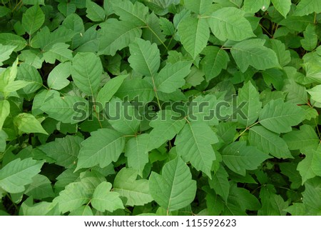 Poison ivy leaves (disambiguation) - stock photo