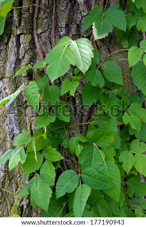 Poison ivy vine on a tree trunk (disambiguation) - stock photo