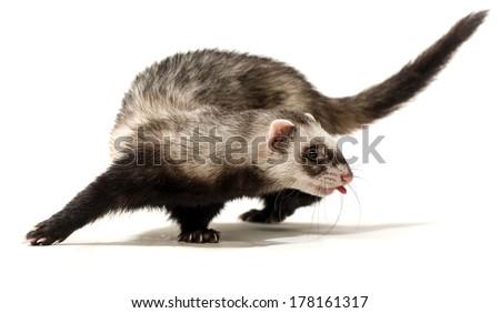 Polecat on a white background - stock photo