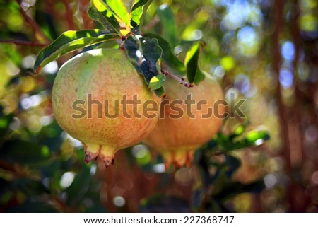 Pomegranate Fruit on Tree Branch. The Foliage on the Background  - stock photo