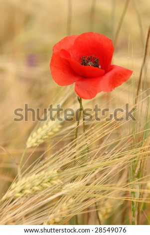 poppies in the wheat - stock photo