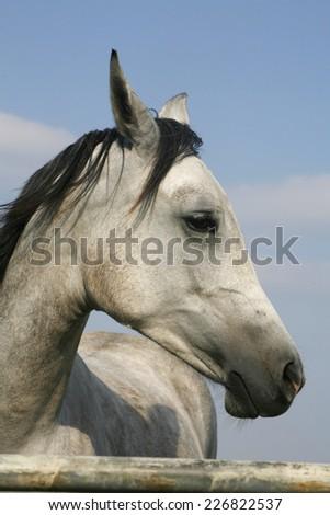 Portrait of a beautiful arabian gray horse. Head of a shagya arabian horse in pasture  - stock photo