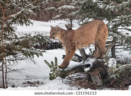 Portrait of a cougar, mountain lion, puma, panther, striking a pose on a fallen tree limb.  Winter scene - stock photo