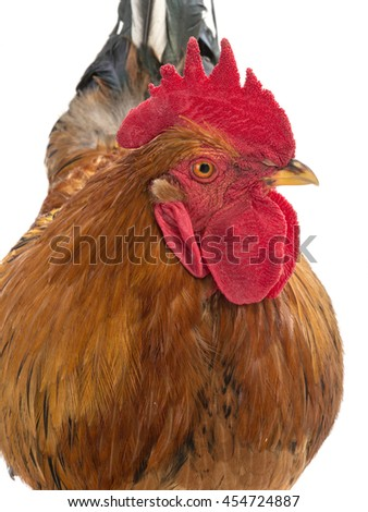 portrait of a rooster is isolated on a white background - stock photo