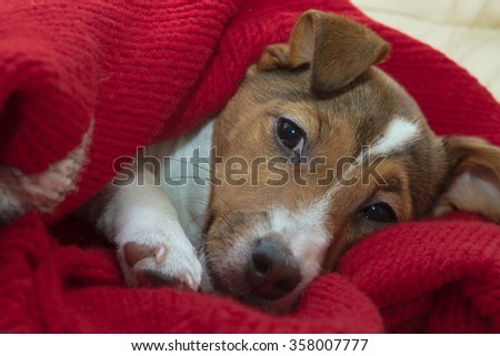 Portrait of a tired puppy Jack Russell terrier in a red knit plaid - stock photo