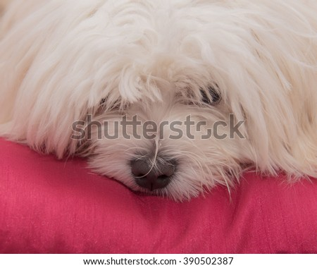 portrait of a young Pedigree Maltese dog looking fed up on a bright red cushion - stock photo