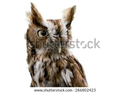 Portrait of an Eastern Screech Owl isolated on a white background. - stock photo