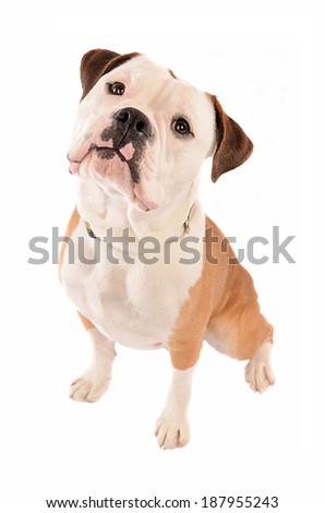 Portrait of an Olde English Bulldog with head tilted - stock photo