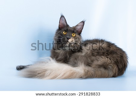 portrait of maine coon cat on blue background. - stock photo