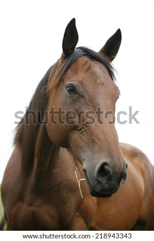 Portrait of nice brown bay horse. Close-up of youngster racing horse in the field - stock photo