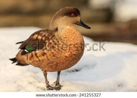portrait of Patagonian crested duck - stock photo