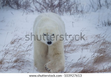 1500 pound poar bear hunts for food - stock photo