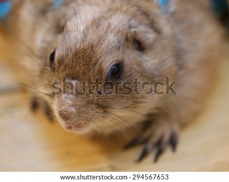 Prairie Dogs - stock photo