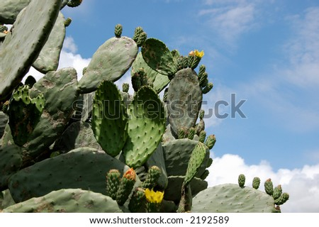 prickly pear bush - stock photo