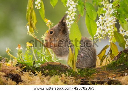 profile of red squirrel standing behind tree trunk with branches with white flowers above - stock photo