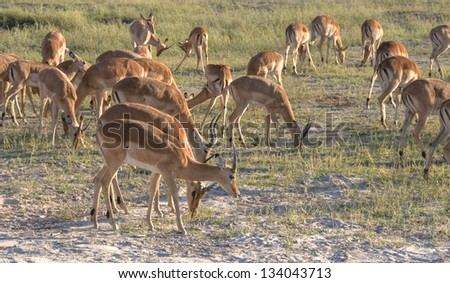 Puku antelopes walking in Chobe National Park, Botswana, Africa - stock photo