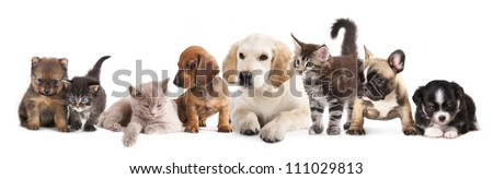 puppy and kitten , Group of cats and dogs in front of white background - stock photo