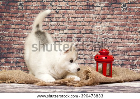 Puppy Siberian Huskies against a brick wall - stock photo