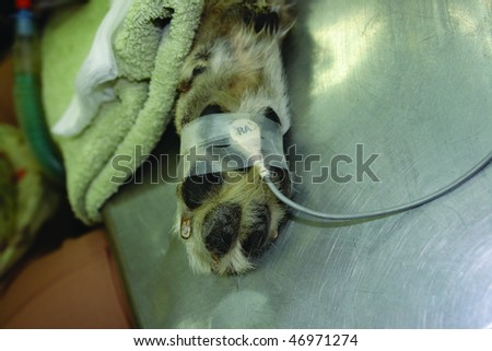Pure breed german shepherd dog at a dental cleaning with heart monitor - stock photo