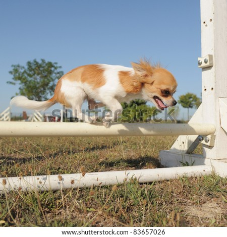 purebred belgian sheepdog malinois in a training of agility - stock photo