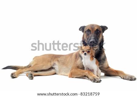 purebred belgian sheepdog malinois on a white background - stock photo