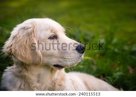 Purebred Golden Retriever dog outdoors on a sunny day - stock photo