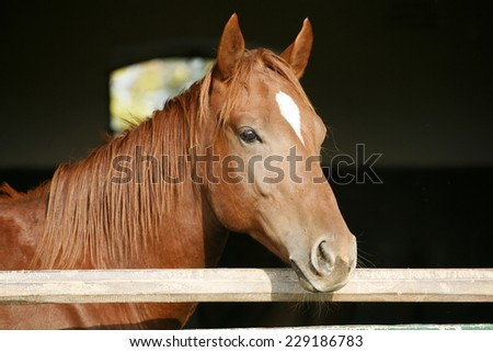 Purebred horse looking over stable door.   - stock photo