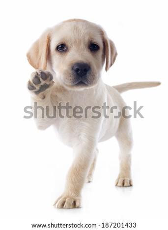 purebred puppy labrador retriever in a studio  - stock photo