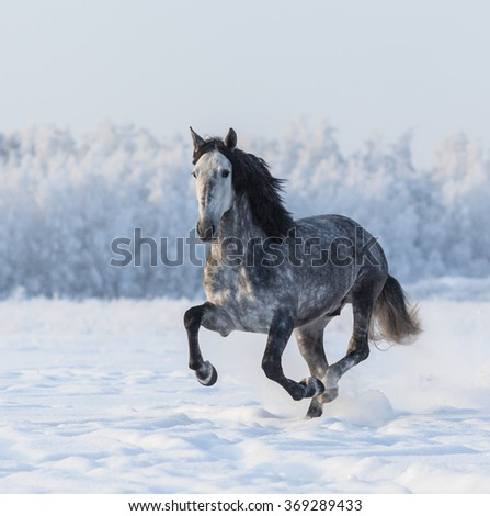 Purebred Spanish horse galloping across a winter snowy meadow - stock photo