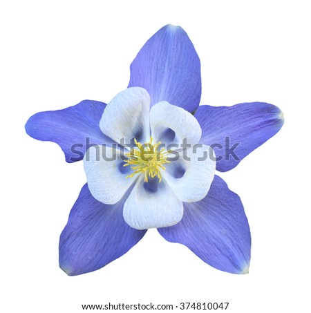 Purple Aquilegia flower isolated on white background - stock photo