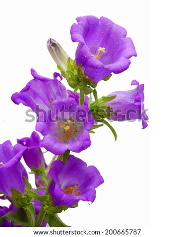 purple bell flower - stock photo