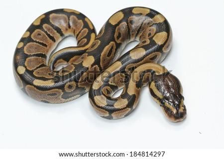 python snake - stock photo