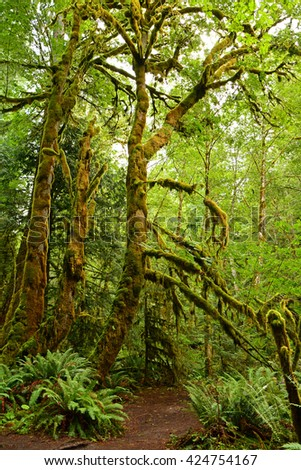 rain forest  and moss-covered trees on the marymere  falls hike near lake crescent, washington - stock photo