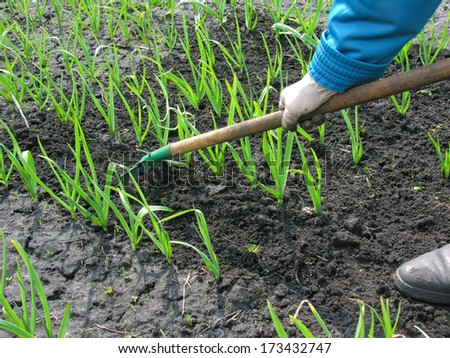 raking of garlic plantation in the vegetable garden - stock photo