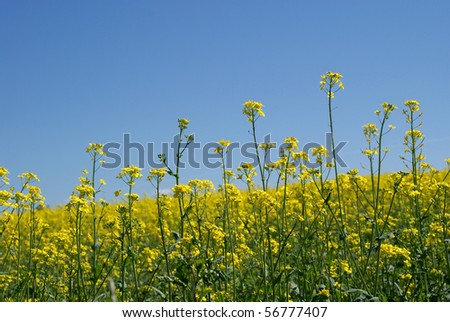 Rapeseed Field (Brassica rapa) With Blue Sky - stock photo