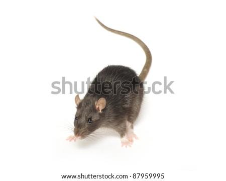 rat  isolated on white background - stock photo
